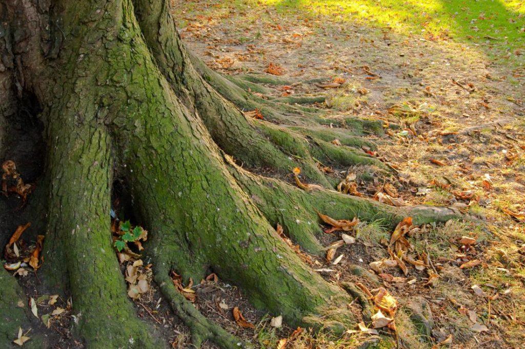 rowlett-tree-service-deep-root-fertilization-2_2